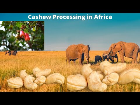Cashews Nut - West Africa Trade Hub