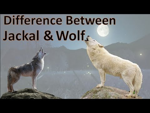Difference Between Wolf