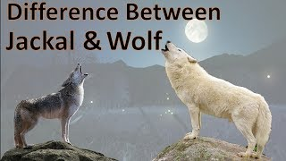 Difference Between Wolf and Jackal | Wolf vs Jackal | Comparison