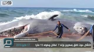 مصر العربية   انتشال حوت نافق بمطروح وزنه 7 أطنان وطوله 15 مترًا