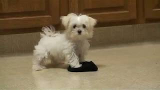 CUCCIOLI DI MALTESE MINI TOY PER REGALO