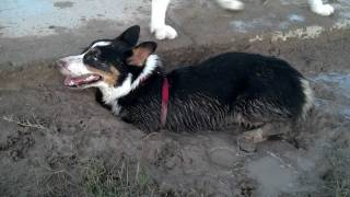Kiba Playing In A Mud Hole