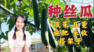 【种植35】丝瓜种植 | 季节、催芽、育苗、压蔓、搭架子、施肥、授粉、采收...学会这些。包你种出让人羡慕的高产丝瓜 | How to grow luffa / loofah