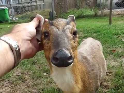 Our Amazing New Baby Muntjac Deer