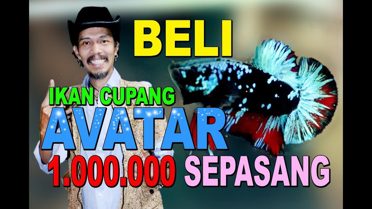 Beli Ikan Cupang Avatar Dari Seller Aceh Youtube