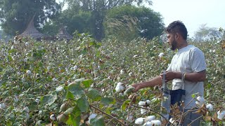 HD video of an Indian farmer plucking white cotton bolls