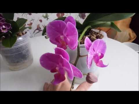 зацвели орхидеи мультики ))))зачем я срезаю цветоносы)))