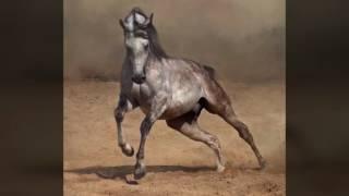 Фото породы лошадей арабской породы!