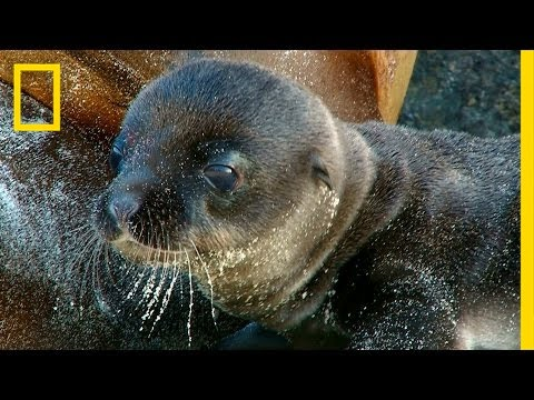 Incredible Sea Lion Birth Captured on Video | National Geographic