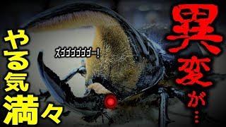 巨大カブトムシの合体中にありえない事態が起きた!(くろねこチャンネル)