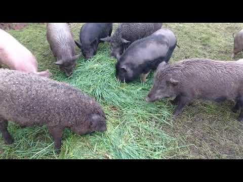 Свиньи на траве   мясо без химии Украина Харьков 0675736455