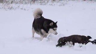 Хаски посвящает питбуля в Снежные Псы.