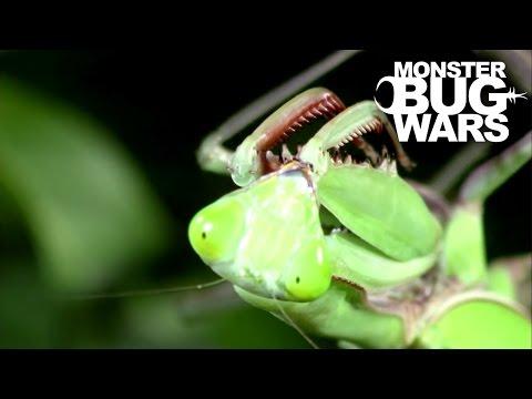 Giant Rainforest Mantis Vs Spiny Leaf Insect   MONSTER BUG WARS