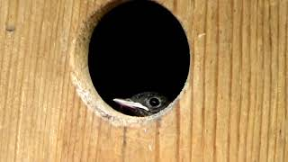 познавательное видио про птиц горихвосток