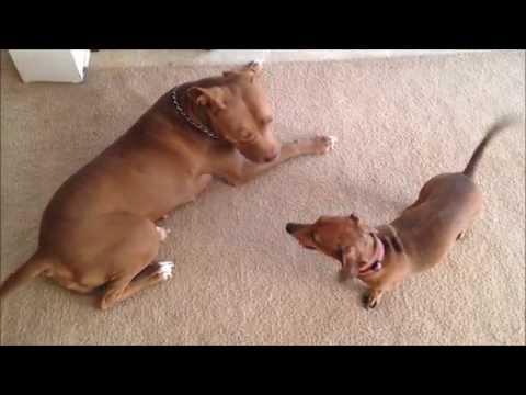 Miniature Dachshund Dry Humping Pitbull