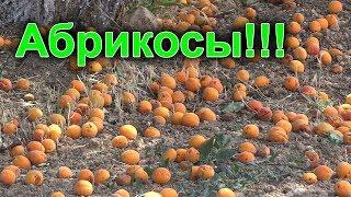 Абрикосы. Урожай абрикос, полезные свойства