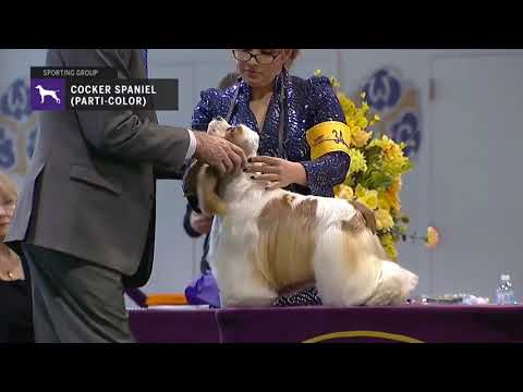 Spaniels Cocker Parti Color | Breed Judging 2019