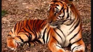 Tiger Stripes-  The Shadows
