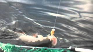 Голавль на спиннинг видео (крупный голавль)