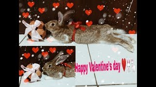 FUNNY RABBIT IN VALENTINE'S DAY || CUTE BABY BUNNY VIDEO