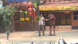 سيرك الغوريلا المضحك . حديقة تمان سفاري إندونيسيا