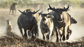 Extremely Rare Footage: Pack of Dingoes Hunting Asiatic Water Buffalo in Australia