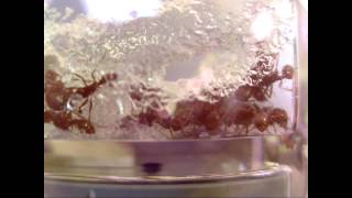 my gel ant nest western harvester ants with a queen
