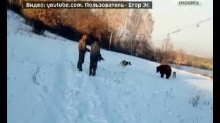 Красноярцы активно обсуждают в соцсетях видео травли медведя собаками