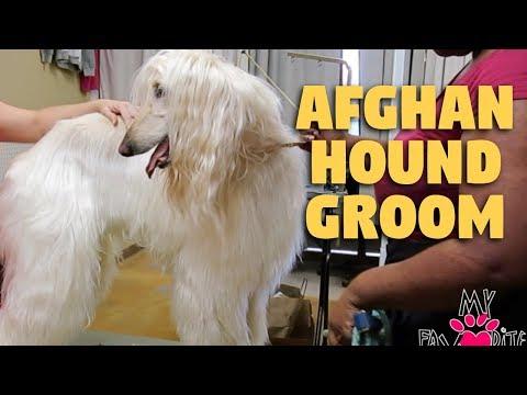 afghan-hound-grooming-ear-clean-&-nailtrim