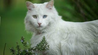 Турецкая Ангора, Породы кошек, описание, уход