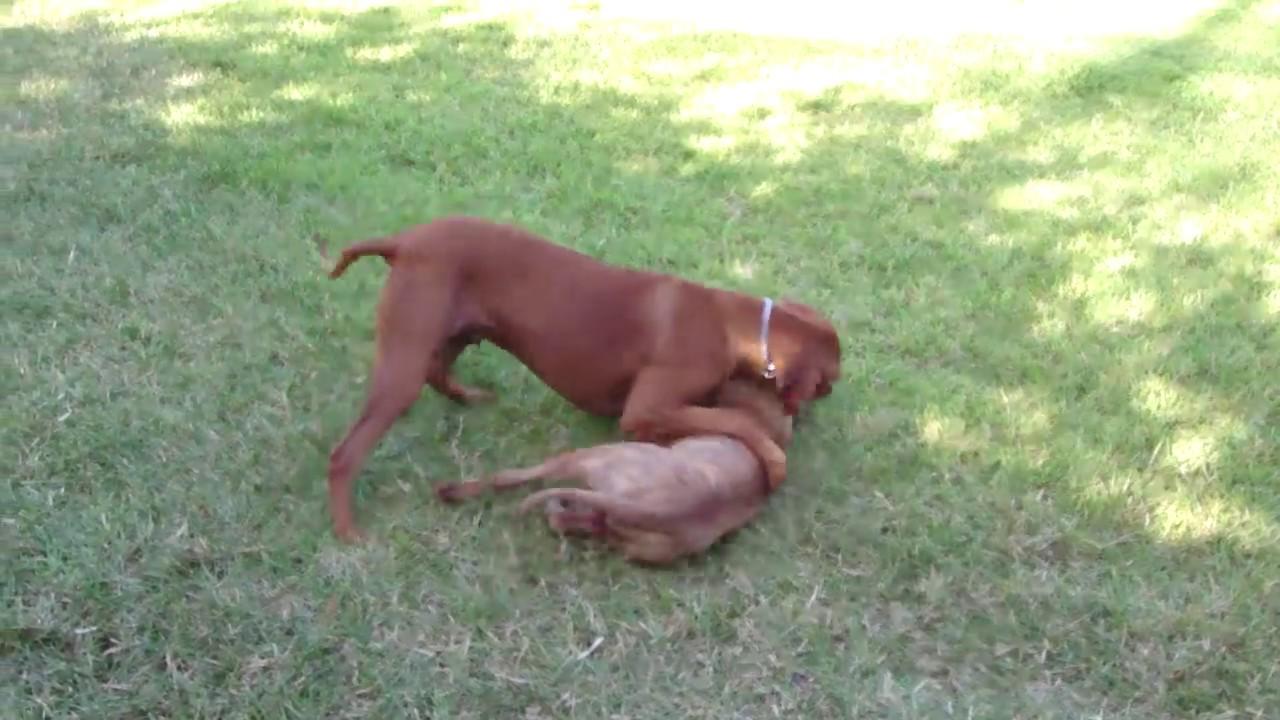 rhodesian ridgeback vs pitbull hd - youtube
