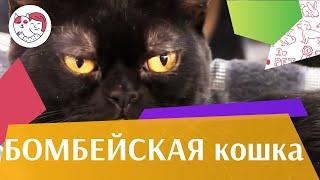 Бомбейская кошка на  Кэтсбург 17 ilikepet