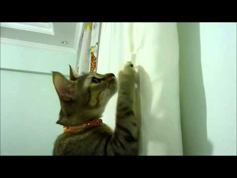 Cat helping with curtains