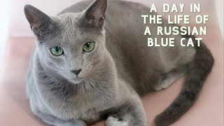 A Day in the Life of a Russian Blue Cat | Sebastian Edition