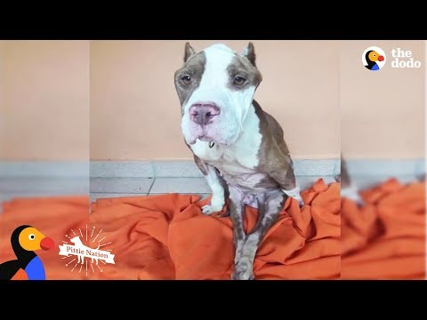 This Pittie Was Determined To Do The Impossible  And He Did | The Dodo Pittie Nation
