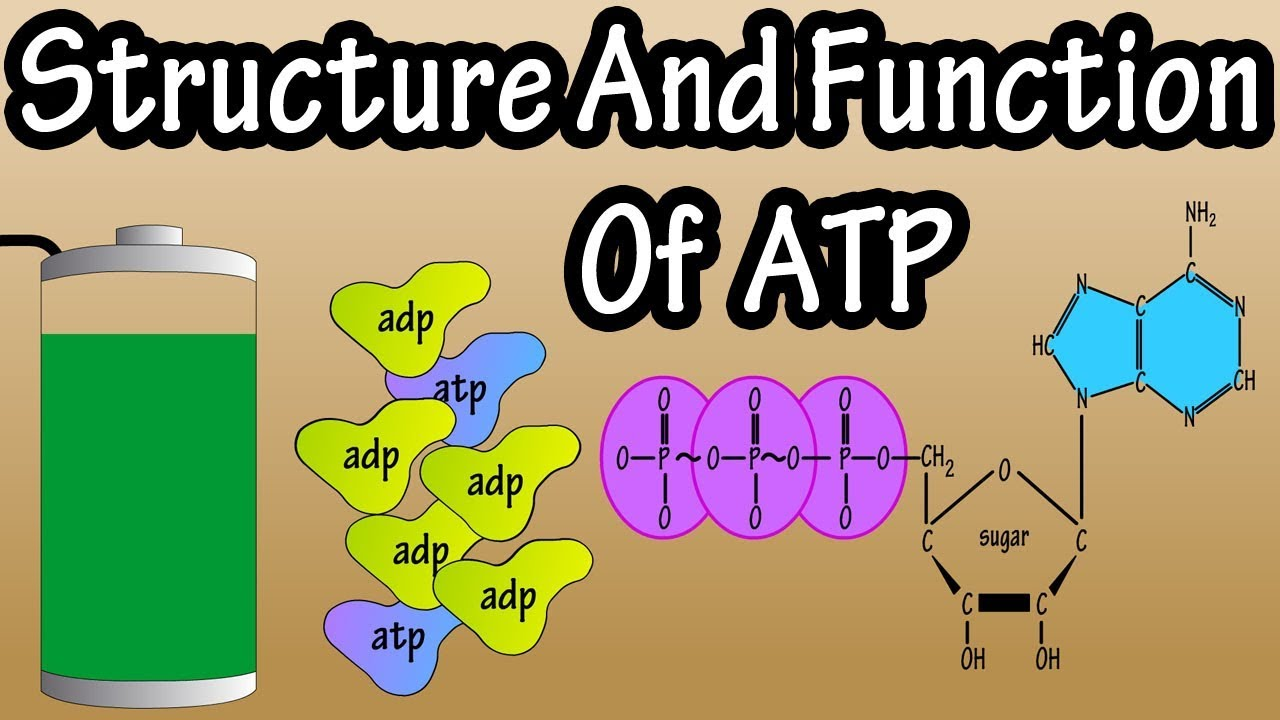 ATP - What Is Adenosine Triphosphate - What Is ATP ...