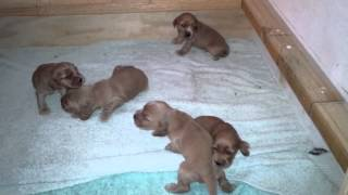 Our 2 week old english cockerspaniels, this is the first bit of rea...