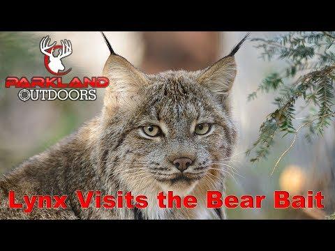 Lynx Visits Us At The Bear Bait | Alberta Bear Hunt Brings In A Canada Lynx