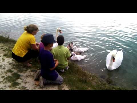 Petting baby swans
