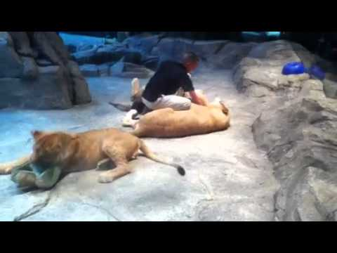 Lion cat fight at MGM in Las Vegas bite attack