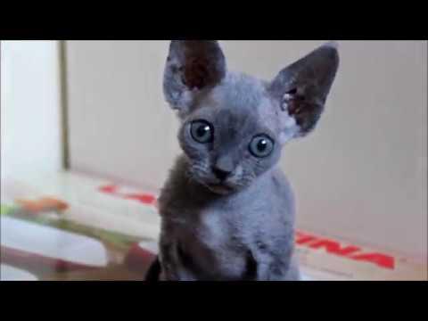 Adorable Devon Rex kittens playing