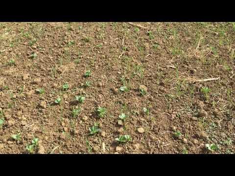 Blattspritzung bei Ackerbohnen mit Komposttee