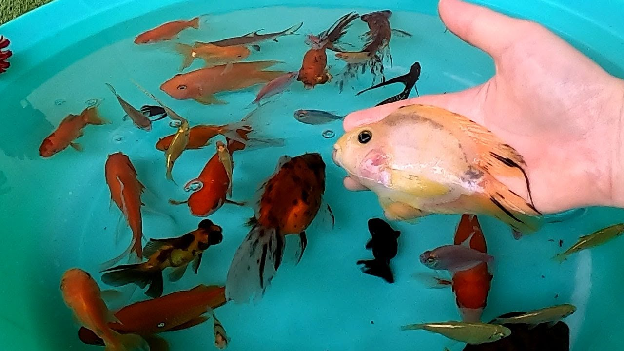 Parrot Fish Ryukin Goldfish Carp Bala Shark Pleco Angelfish Telescope Ranchu Cute Pets Animals Video
