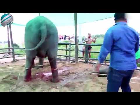Elephant kicks her baby and mahout seconds after giving birth | Breaking News!