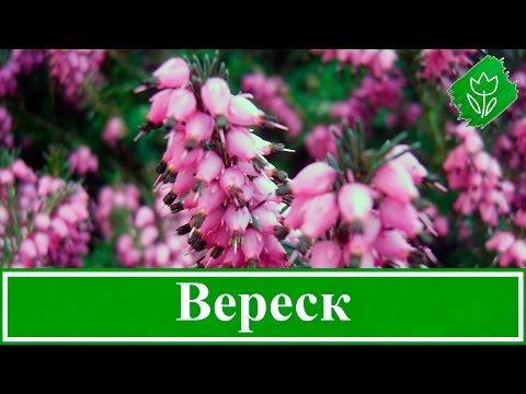 🌸 Растение вереск – посадка и уход, выращивание вереска из семян; виды и свойства вереска
