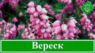 Растение вереск – посадка и уход, выращивание вереска из семян; виды и свойства вереска