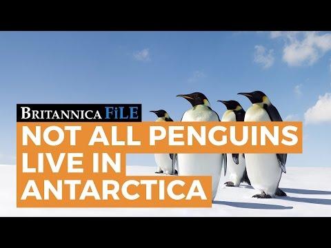 Britannica File: Not all penguins live in Antartica - YouTube