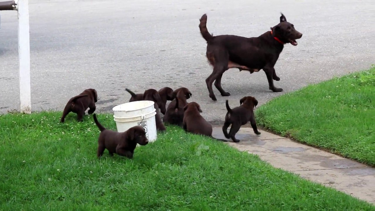 Chocolate Lab Puppies For Sale - YouTube