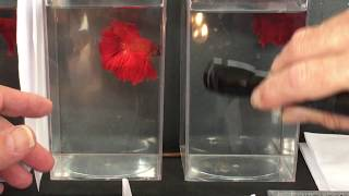 How to Judge Show Bettas | Red Longfin Halfmoon Males