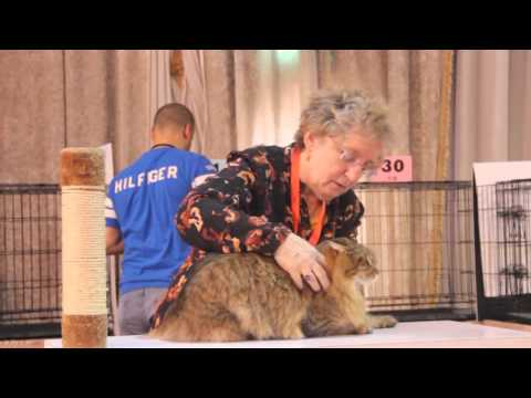 K Cats CFA Show 2016 - Kuwait
